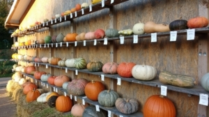 pumpkin festival exhibition
